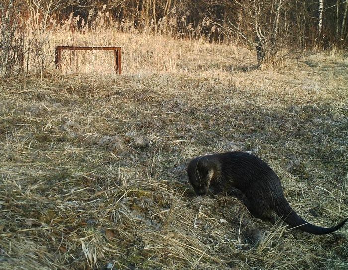 Возле Чернобыля установили фотоловушки: камеры зафиксировали невероятное!