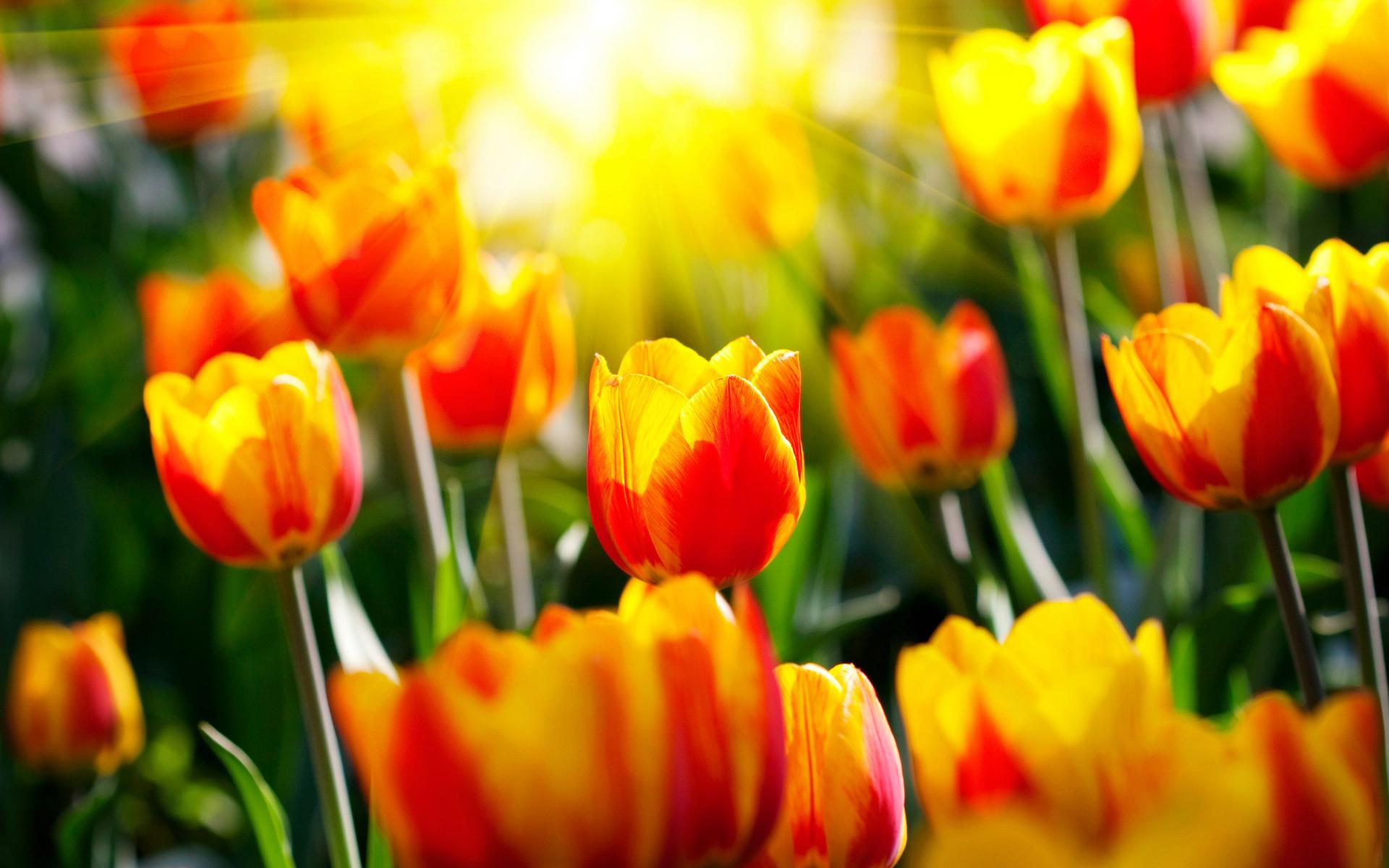 Тюльпановый рай: жительница Кубани вырастила свою Голландию