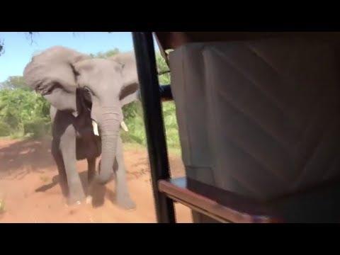 В Африке слон напал на авто с туристами. ВИДЕО