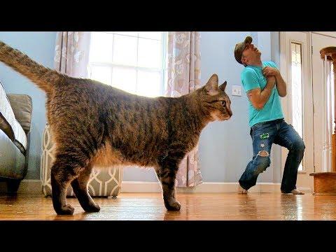 Реакція кішки на зімітовану смерть господаря: цікаве відео