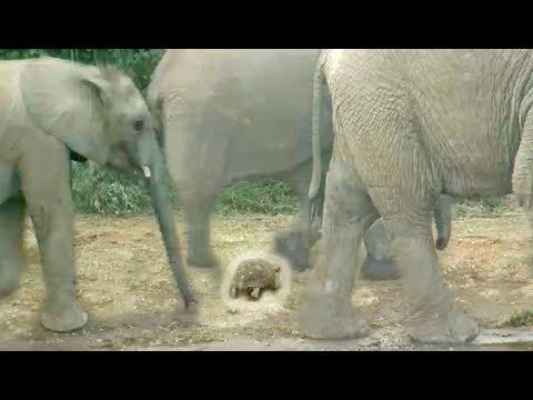 Черепаха притворилась камнем и спаслась от стада слонов. ВИДЕО