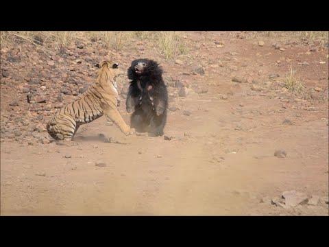 Схватка медведя с тигром попала на видео