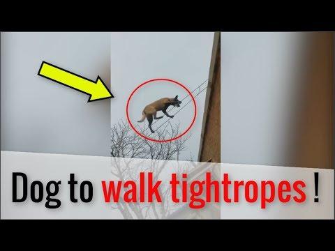 Уникальное животное: собака-акробат взорвала Сеть. ВИДЕО