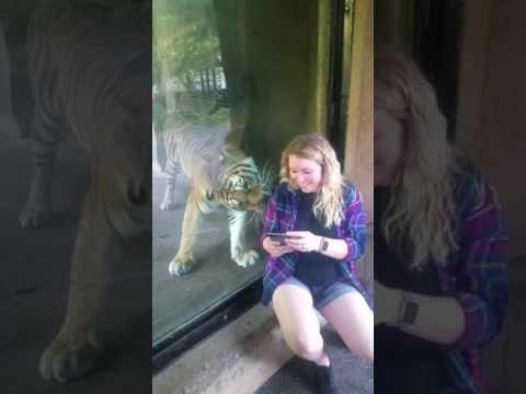Селфи беременной девушки с тигром закончилось неожиданностью. ВИДЕО