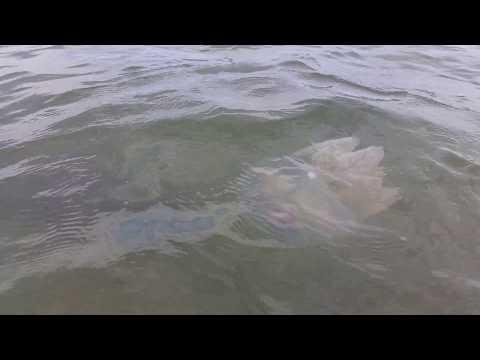 В Азовском море началось нашествие ядовитых медуз. ВИДЕО
