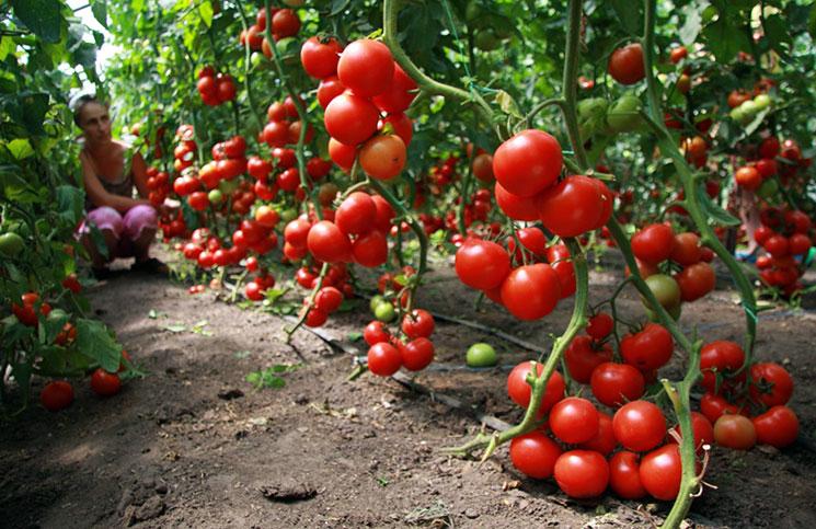 Где купить семена томатов и как вырастить вкусный помидор?