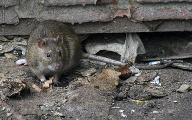 Украинцы страдают от нашествия крыс: ситуация выходит из-под контроля. ФОТО, ВИДЕО
