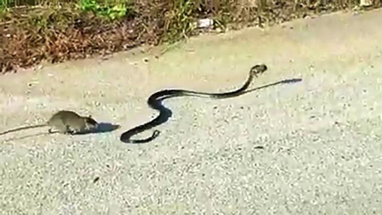 Голодная крыса напала на здоровую змею и одержала победу. ВИДЕО