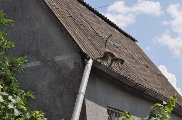 На Одесщине стая обезьян оккупировала один из дачных поселков