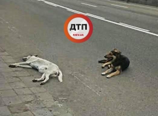 Настоящая верность: сети впечатлили фото пса и его погибшей подруги в Киеве. ФОТО
