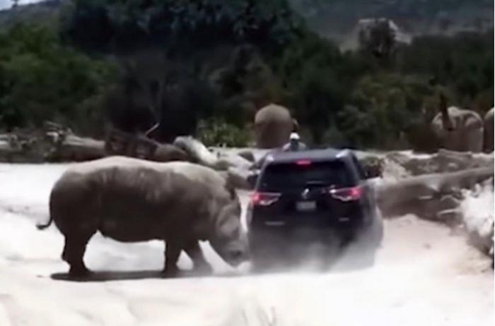 В Мексике носорог напал на машину с людьми. ВИДЕО