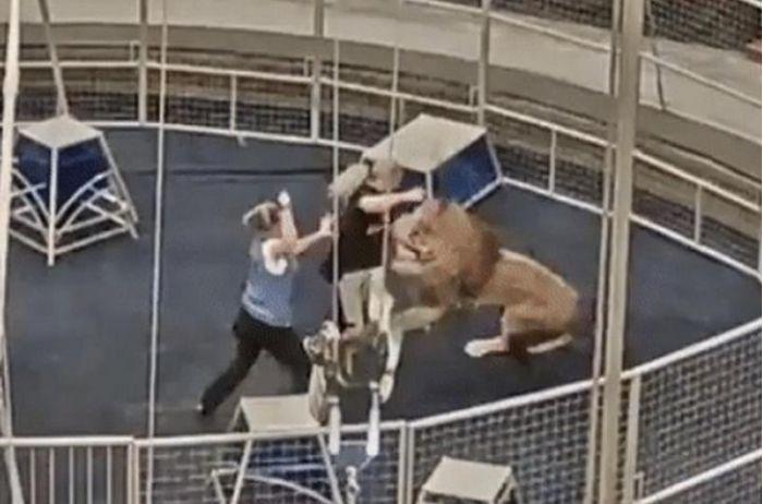 В московском цирке лев набросился на дрессировщика. ВИДЕО