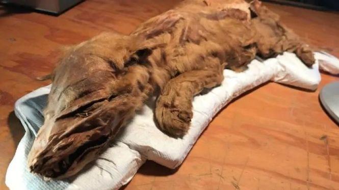 Уникальная находка: в Канаде нашли мумию волчонка ледникового периода