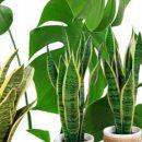 Названы три комнатных растения, улучшающих здоровье