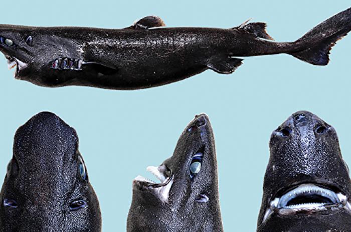 Поразительные фото: в Тихом океане нашли светящуюся «акулу-ниндзя»