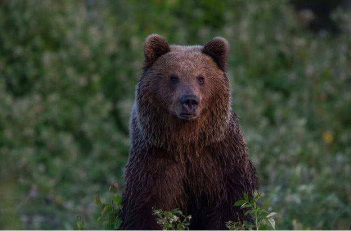 Вороватый медведь украл у охотников холодильник: смешное видео