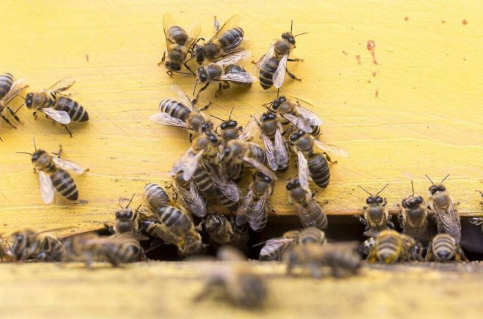 Пчелиный мор и предсказание Ванги с Эйнштейном: в СМИ подняли панику