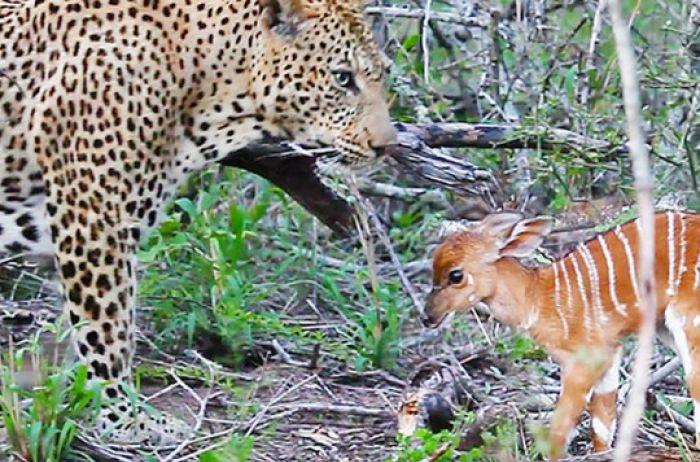 Детеныш антилопы отважно атаковал грозного леопарда. ВИДЕО