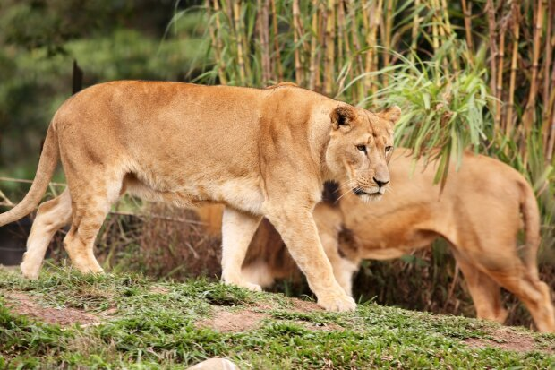 Голодные львицы перепугали туристов, пробравшись в их палатку. ВИДЕО