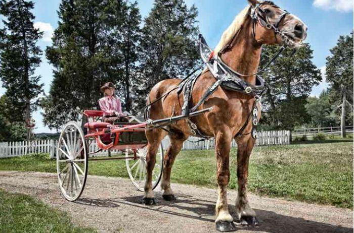 Самый высокий на планете конь удерживает рекорд уже 10 лет. ВИДЕО