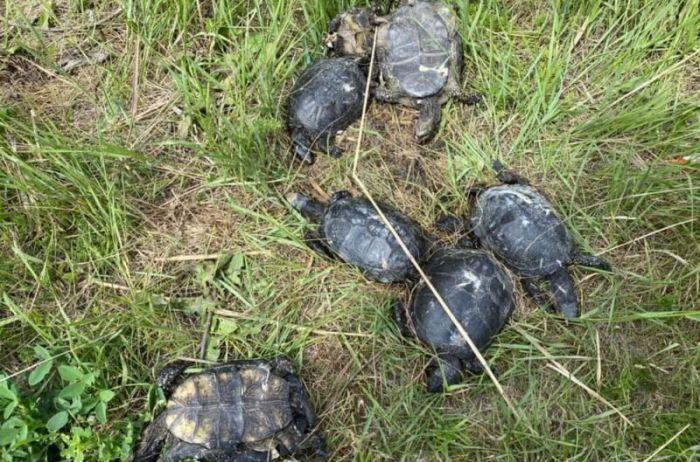 Отрезали головы и жгли в костре: на Одесчине истребили черепах