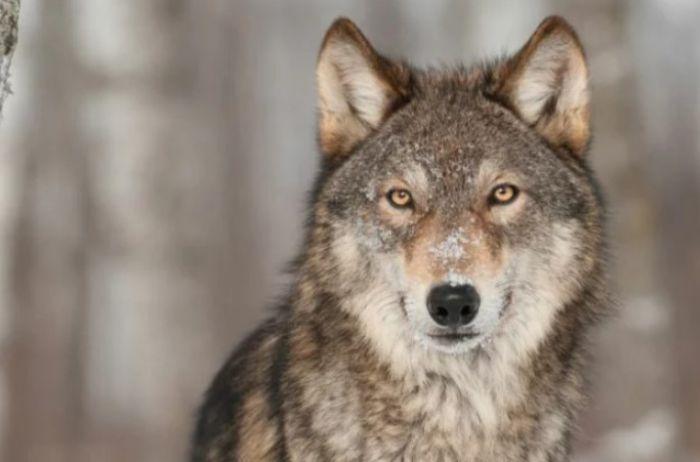 Подборка самых интересных фактов о волках