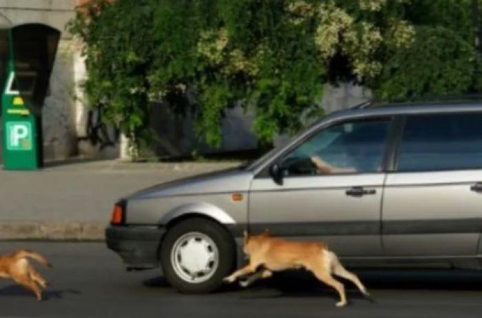 Стало известно, почему собаки лают на автомобили