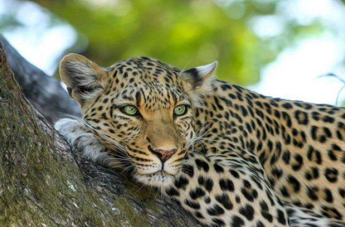 Погоню леопарда за гепардом сняли на камеру