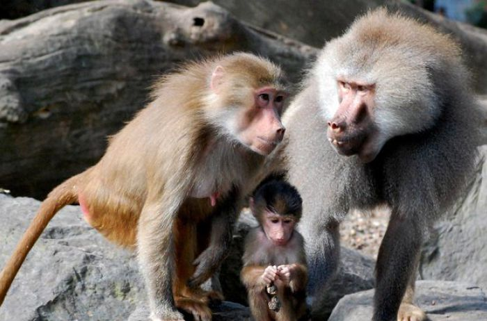Гамадрилы, сбежавшие из зоопарка, устроили настоящий переполох. ВИДЕО
