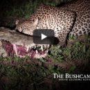 Леопард стал звездой Сети, ограбив спящего крокодила. ВИДЕО