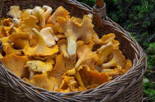 Лечит сердце и защищает от рака: назван самый полезный гриб