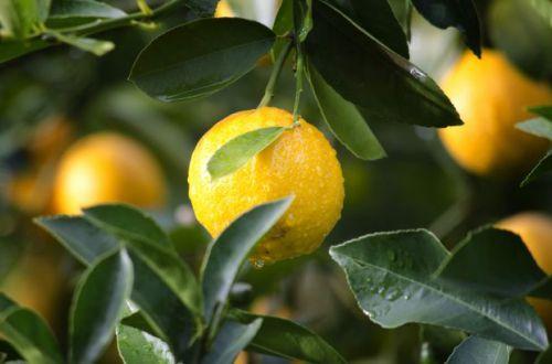 Обладает вредными качествами: врач раскрыла всю правду о лимонах