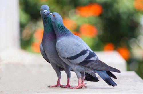 Что случится, если в городе исчезнут все голуби