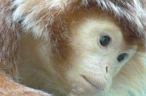 Ученые нашли еще одно сходство обезьян с человеком