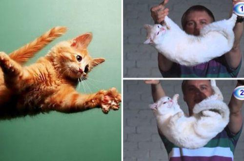 Почему кошка почти всегда приземляется на все четыре лапы