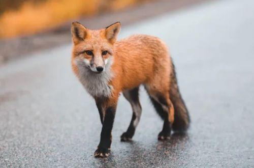 Что делать, если встретили лису: несколько простых правил