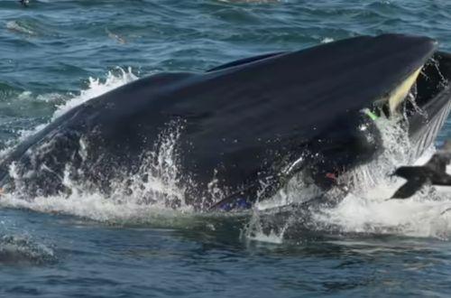 Появилось ВИДЕО, как кит пытался проглотить дайвера