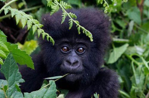 Встреча гориллы с маленьким ребенком растрогала соцсети. ВИДЕО