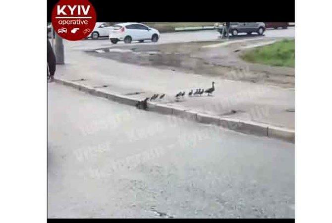 В Киеве водители остановили движение, чтобы пропустить утку с утятами. ВИДЕО