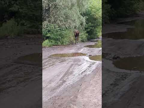Дикий лось, гуляющий по Киеву, шокировал украинцев. ВИДЕО