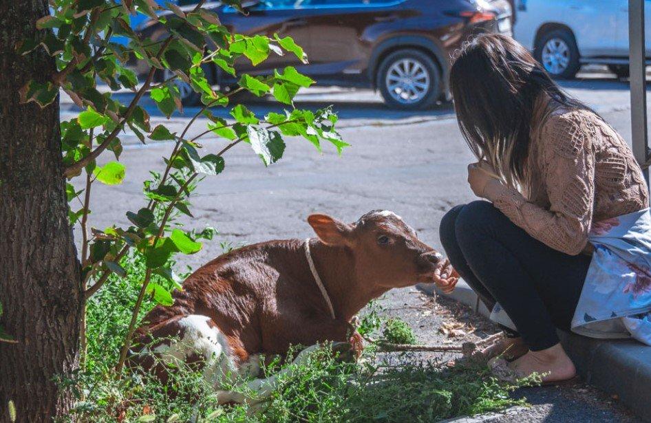 Иностранка поселила теленка и поросенка в украинской съемной квартире. ВИДЕО и ФОТО
